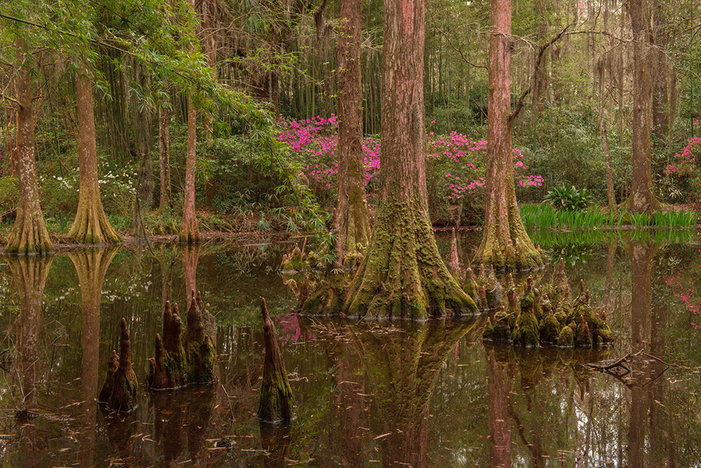 Magnolia Swamp for blog