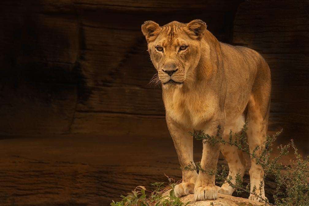 lionesse-foor-fb