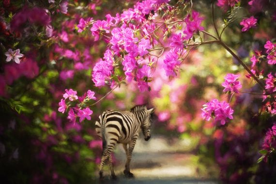 Week Twelve Composite:  Zebra in the Azaleas